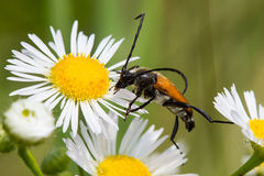 Beetle on a daisy flower Royalty Free Stock Photography