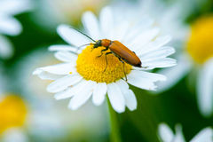 A beetle on a daisy Stock Images