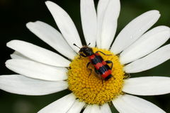 Beetle on a daisy. Pestryakov bee or pchelozhuk ordinary (Trichodes apiarius). Beautiful red and black beetle on a flower Royalty Free Stock Photos