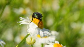 Beetle on daisy. Sway in wind stock footage