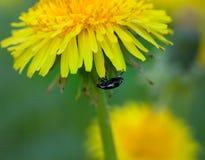 Beetle on  dandelion Royalty Free Stock Photo