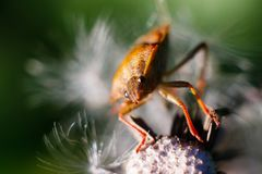 Beetle on the dandelion macro take royalty free stock image