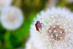 Beetle and dandelion. Purple bug crawling on a white dandelion Stock Images