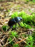 Beetle. Darkly colored dung beetle walking through a forest cover in the Polish wood Stock Photos