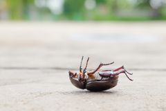 The beetle death laying down on concrete, Onthophagus gazella is a species of scarab beetle,beetle Died. The beetle death laying down on concrete, Onthophagus royalty free stock photo