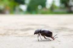 The beetle death laying down on concrete, Onthophagus gazella is a species of scarab beetle,beetle Died. royalty free stock image