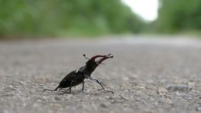 Beetle deer on the asphalt road creeps. Lucanus cervus