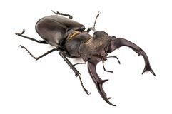A beetle-deer isolated. A beetle-deer stag beetle male isolated on white Stock Images