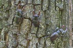 Beetle deer on the trunk of an oak. Option 4. Royalty Free Stock Photography