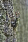 Beetle deer on the trunk of an oak. Option 2. Stock Photography