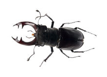 Beetle deer on the white background Stock Photo