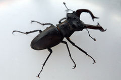 Beetle deer Royalty Free Stock Photos