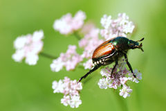 A Beetle Delicately Balancing on a Flower in the Wind Stock Photos