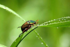 Beetle and Dew. Anomala dubia. Royalty Free Stock Images