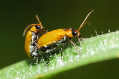 Beetle and dews. Beetle mating in the parks royalty free stock photography