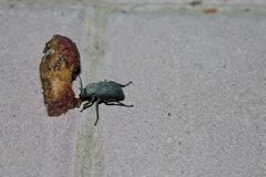 Beetle dinner royalty free stock photography