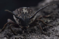 Beetle Dorcadion equestre is sitting on tree bark Stock Images