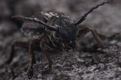 Beetle Dorcadion equestre is sitting on tree bark Stock Photo
