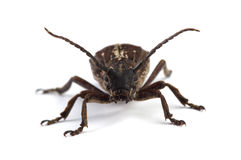 Beetle Dorcadion equestre  on white Royalty Free Stock Photography