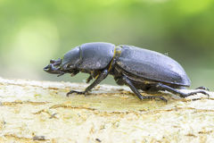 Beetle Dorcus parallelipipedus / lesser stag beetle Stock Image