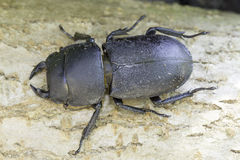 Beetle Dorcus parallelipipedus / lesser stag beetle Royalty Free Stock Photography