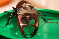 Beetle drinking syrup Royalty Free Stock Photos