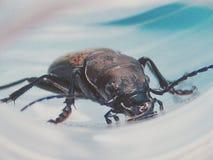 Beetle drinking Stock Image