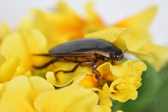 Beetle Dytiscidae Royalty Free Stock Images