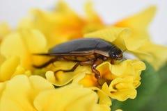 Beetle Dytiscidae. Beetle Ditiskidae on a yellow flower royalty free stock images