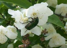 The beetle eats pollen Jasmine royalty free stock images