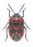 Beetle Eurydema ornata Stock Photo