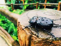 Beetle on a fence in Costa Rica Stock Images