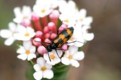 beetle field flower insect macro mongolia Arkivbilder