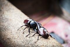 Beetle fight on wooden stock photo