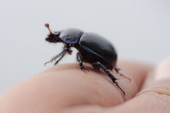 Beetle on a finger Royalty Free Stock Image