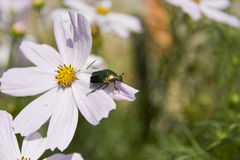 Beetle on flower Royalty Free Stock Image
