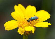 Beetle on the flower. Royalty Free Stock Photography