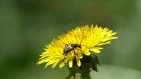 The beetle Flower barbel Brachyta interrogationis on a dandelion flower. Close-up stock video footage