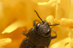 Beetle on flower. A beetle crawling on an yellow flower Royalty Free Stock Photo