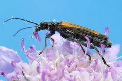 Beetle on flower macro photo Royalty Free Stock Photography