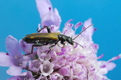 Beetle on flower macro photo Royalty Free Stock Photo