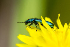 Beetle on flower. A metallic green beetle on an yellow flower Royalty Free Stock Images