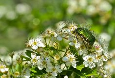 Beetle on the flower,nutrition of bugs. Insects or Insecta are by far the largest group of hexapod invertebrates within the arthropod phylum. Definitions and Royalty Free Stock Photo