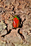 Beetle in forest Stock Photography