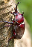 Beetle in Fraxinus suck sap Stock Photo