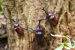 Beetle in Fraxinus suck sap Stock Images