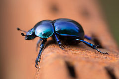 Beetle. Geotrupes stercorarius - blue-black specie of earth-boring dung s stock images