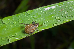 Beetle on grass-blade 12 Royalty Free Stock Photos