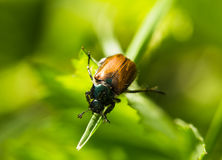 Beetle on a grass Stock Photos