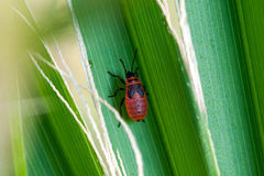 Beetle in the grass. Red beetle in the grass Stock Photo